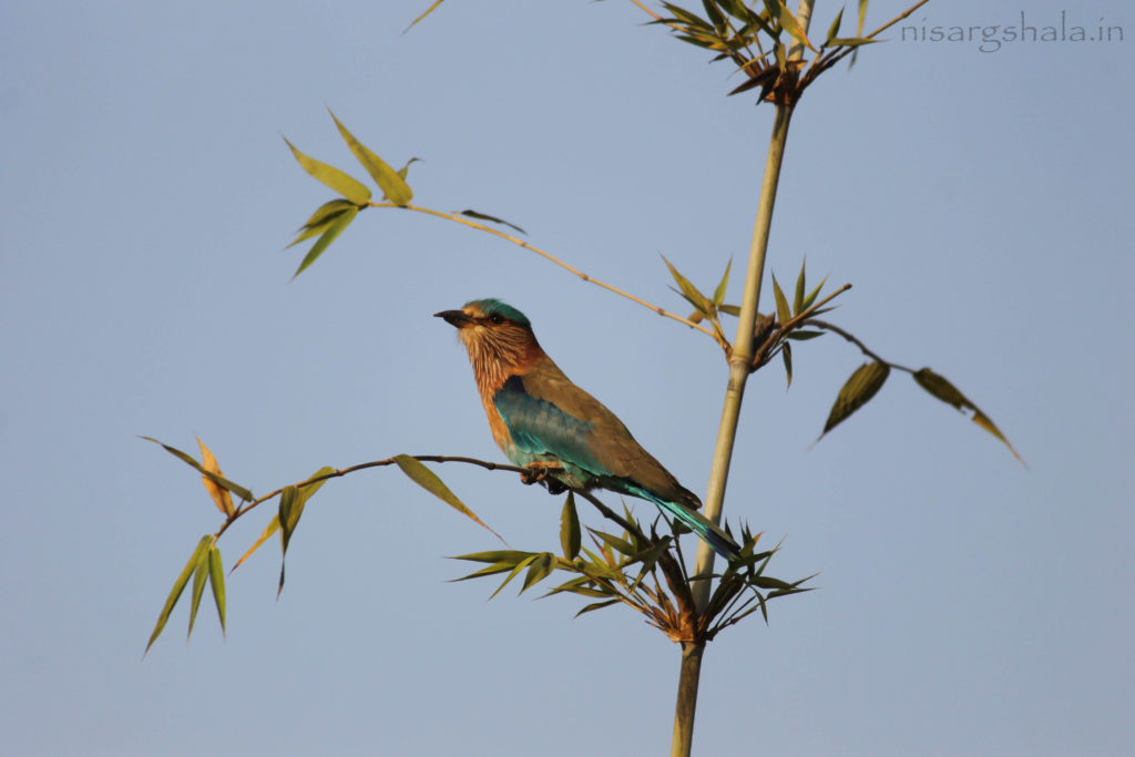 Indian roller @ Nisargshala