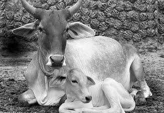 पशुपालक धनगर सवत्स धेनु