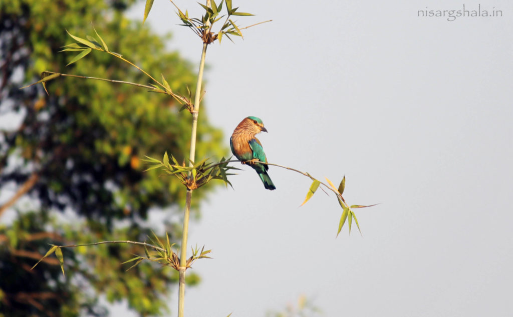 Lifespan : The longevity of Indian Roller exceeds up to 17 years of age.