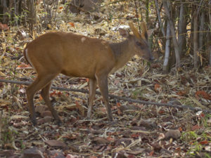 Barking deer in the surrounding area of Nisargshala campsite.