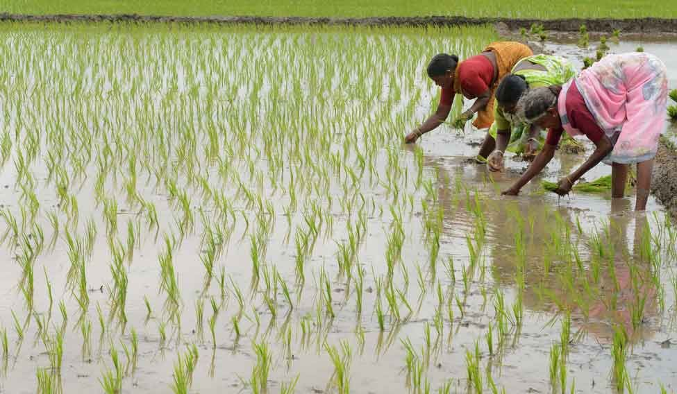 Women transplanting rice near Nisargshala Campsite