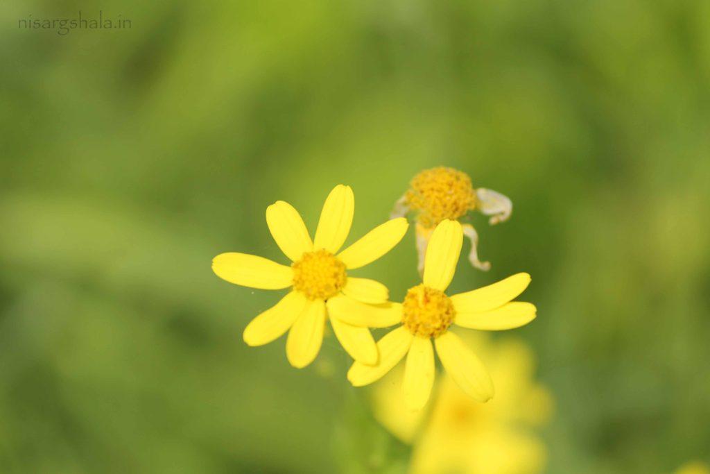 Sonaki Flower