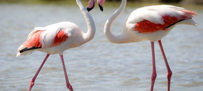रोहित अर्थात फ्लेमिंगो पक्ष्यांची अदभुत दुनिया